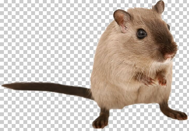 Hamster clipart brown mouse. Gerbil rat rodent png