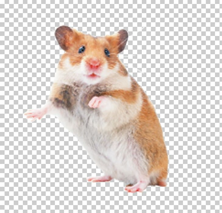 Rat rodent pet png. Hamster clipart brown mouse