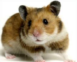 Look at clip art. Hamster clipart realistic