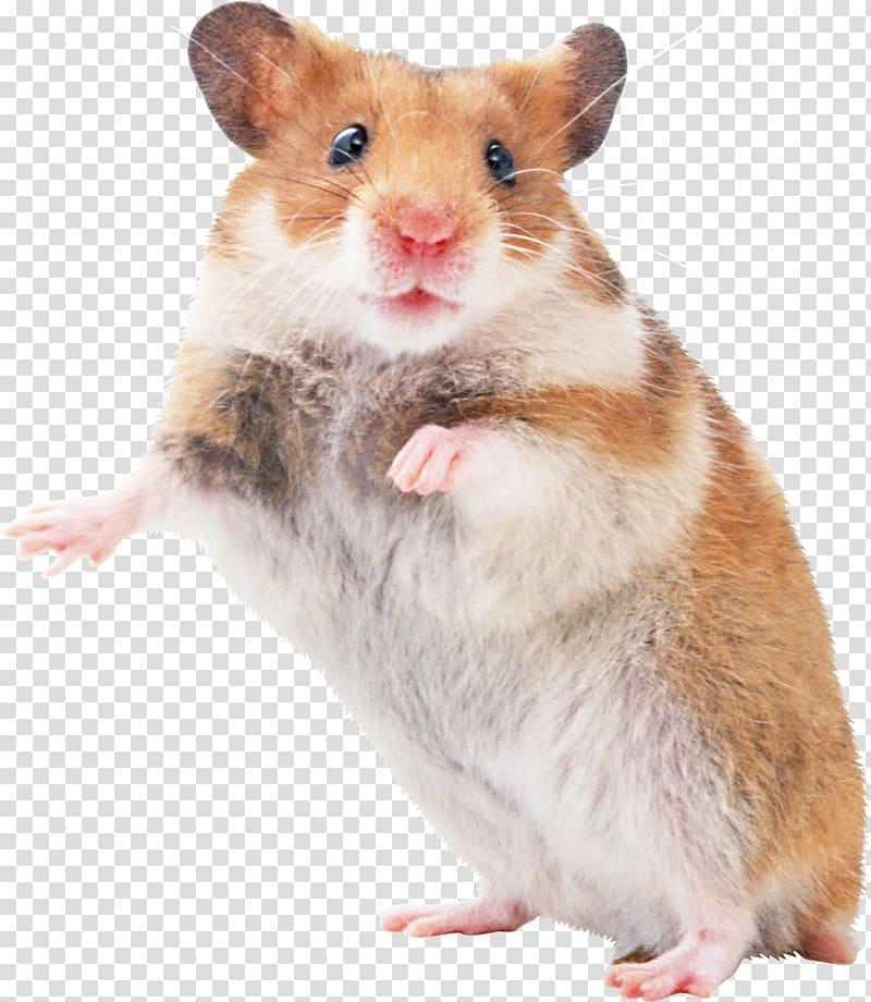 Mouse pocket pet transparent. Hamster clipart rodent