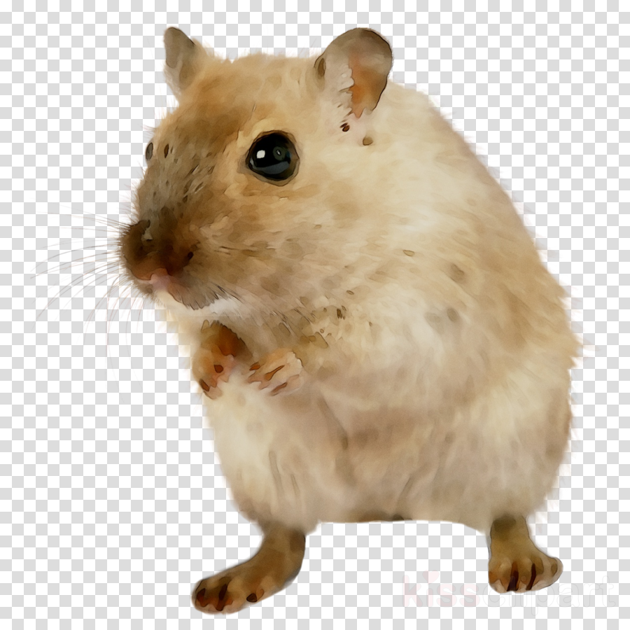 Hamster clipart rodent. Background rat pet mouse