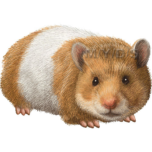 Hamster clipart syrian hamster.  clipartlook