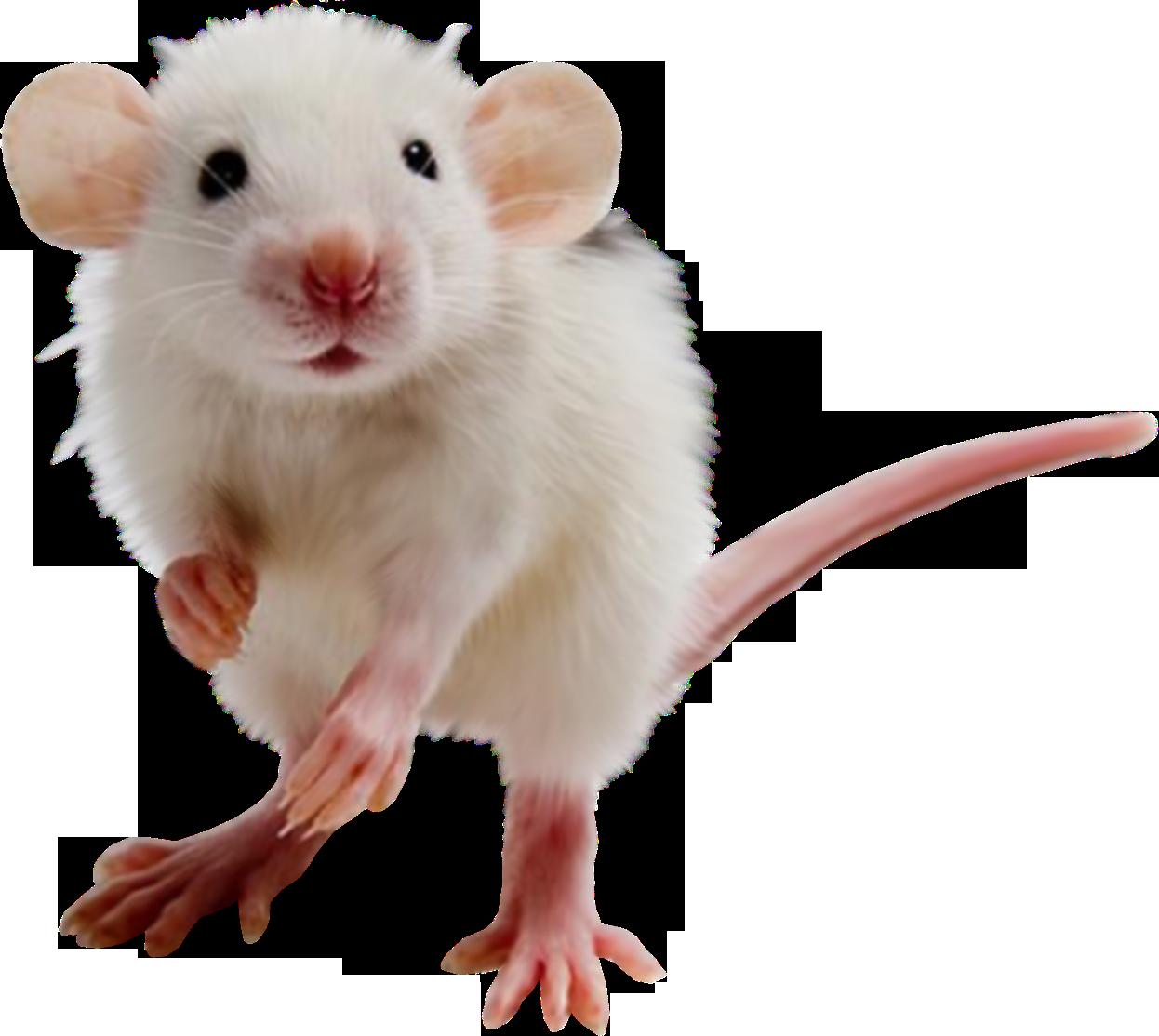 Hamster clipart transparent background. Mouse rat png image