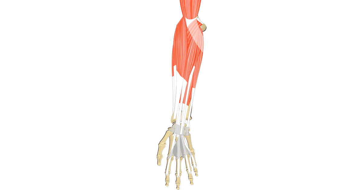 Anatomy pictures image collections. Hand clipart muscular