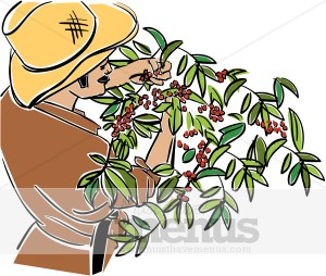 Harvest clipart. Coffee