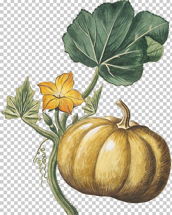 Harvest clipart gourd. Pumpkin botanical illustration botany