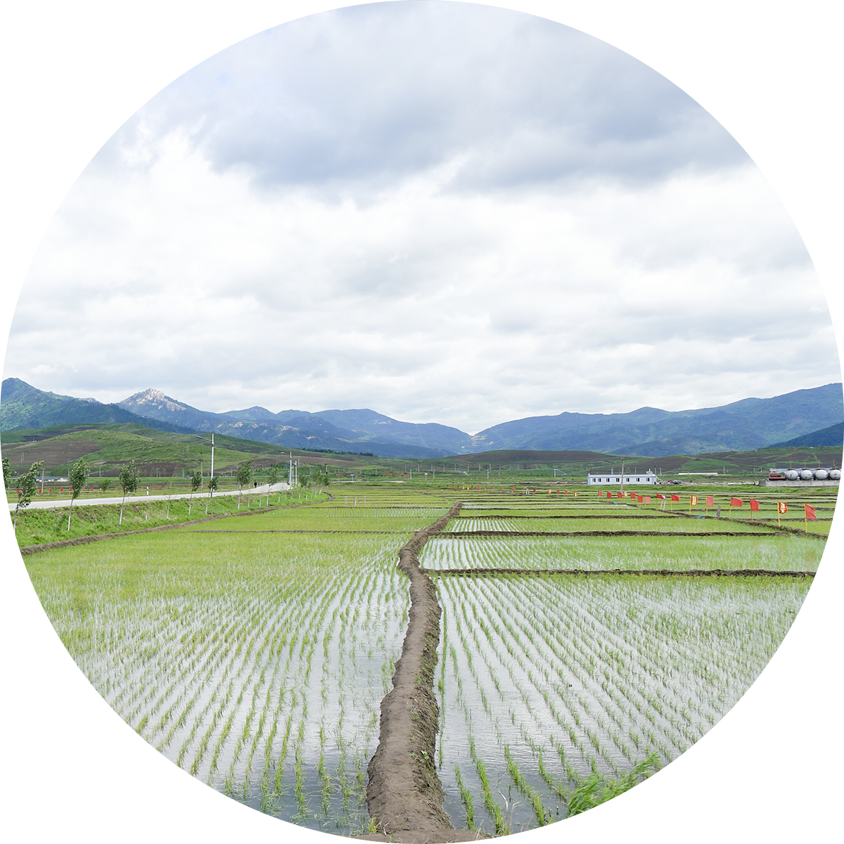 North korean harvesting service. Rice clipart rice cultivation