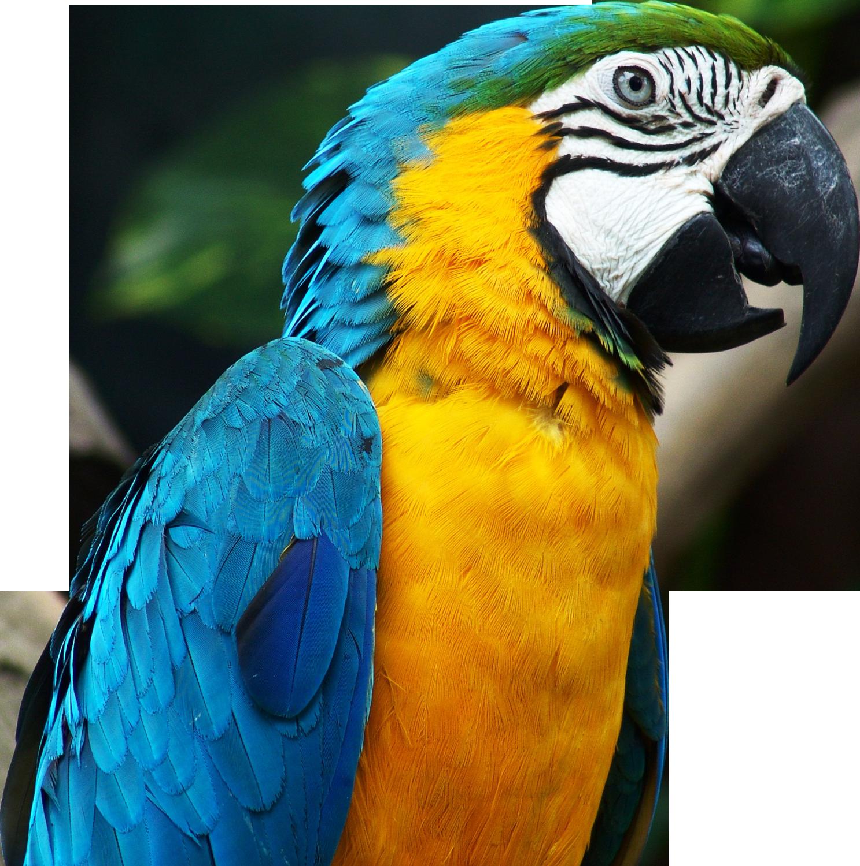 Parrot clipart rainforest parrot. Parrots pictures qygjxz x