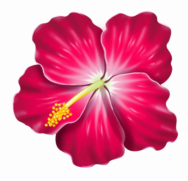 Pink clip art illustration. Hibiscus clipart real