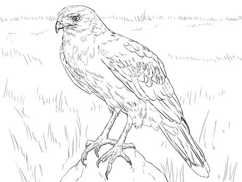 Hawk clipart hawk harris. Coloring page free printable
