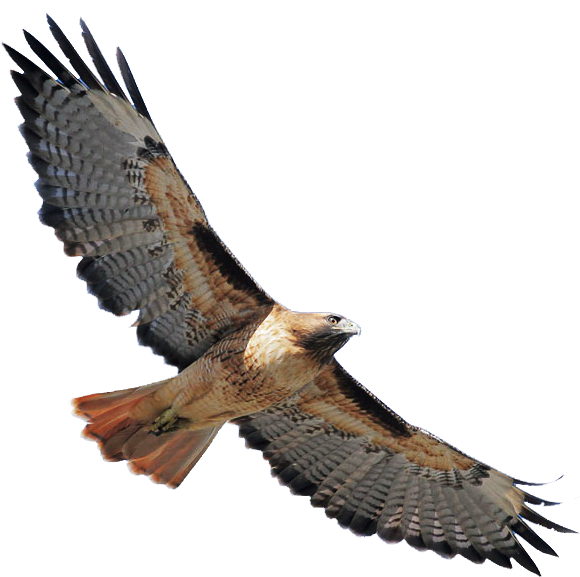 Lake clipart flying. Red tailed hawk silhouette