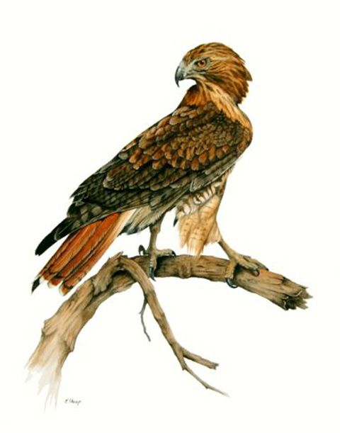 Tailed art pencil and. Hawk clipart red tail hawk