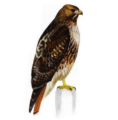 X free clip art. Hawk clipart red tail hawk