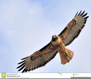 Free images at clker. Hawk clipart red tail hawk