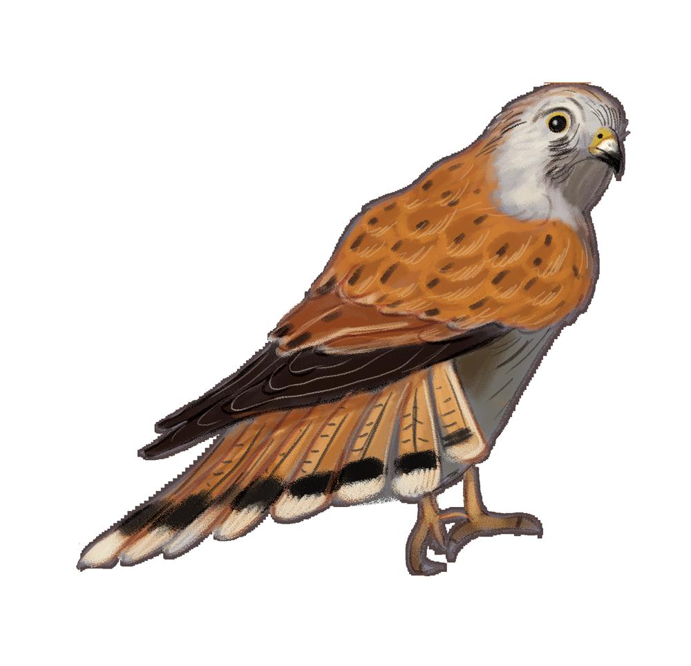 Hawk clipart sea hawk. Living wetlands birds rachel