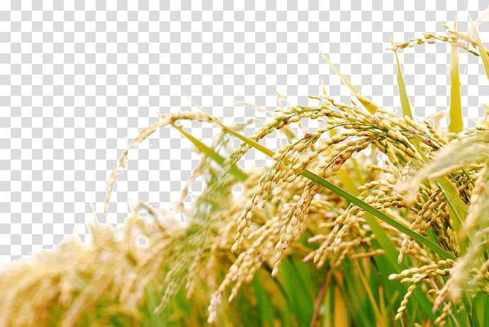 Plant illustration bran oil. Rice clipart rice harvest