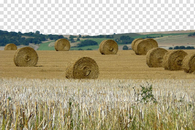 Wheat clipart hay. Harvest farm straw bale