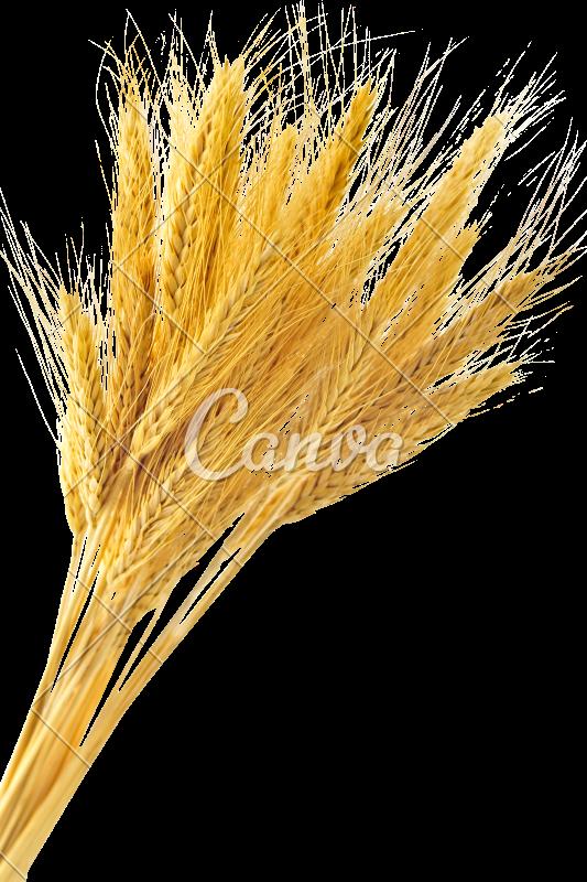 free premium stalk. Wheat clipart wheat bunch