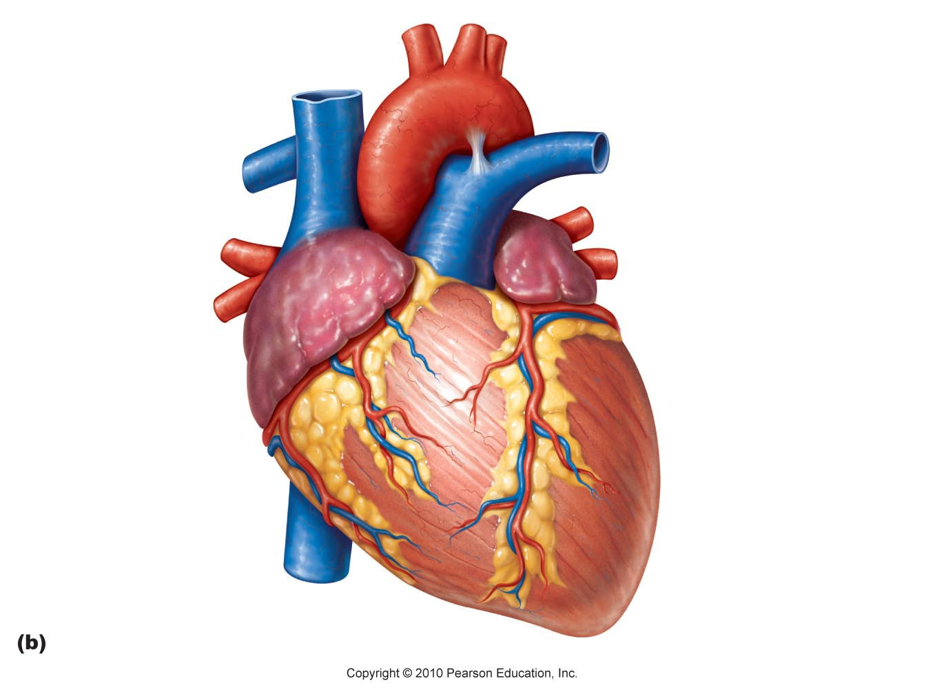 Free heart cliparts download. Hearts clipart body