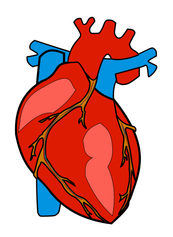 Hearts clipart body. Anatomical heart free download