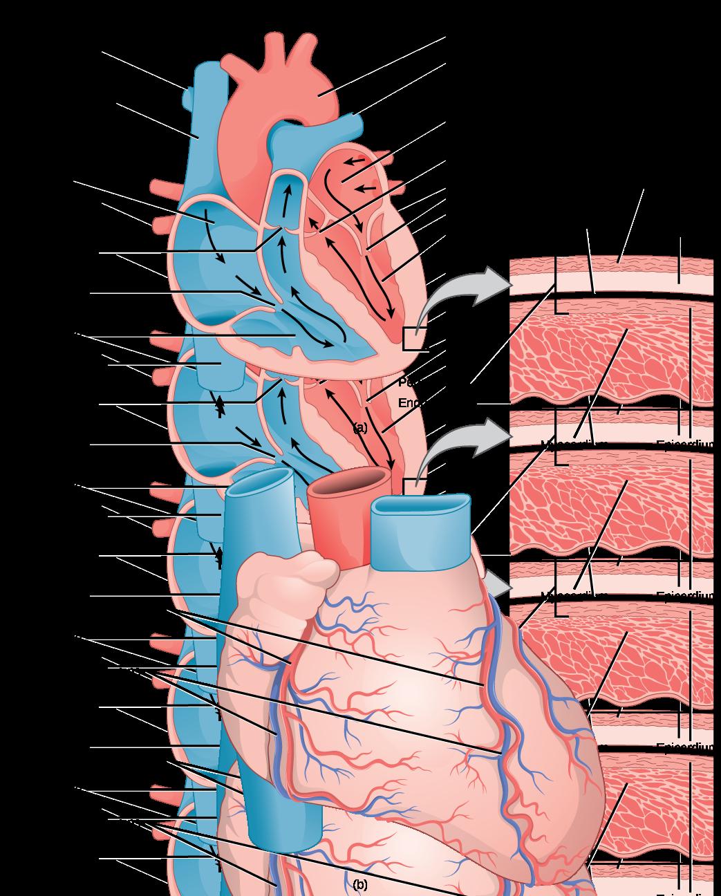 Lungs clipart heart blood vessel.  mammalian and vessels