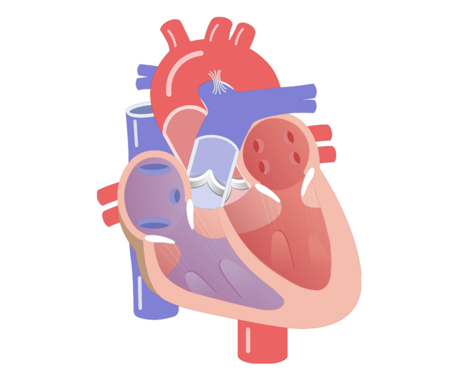 Phases of the cardiac. Heartbeat clipart heart valve