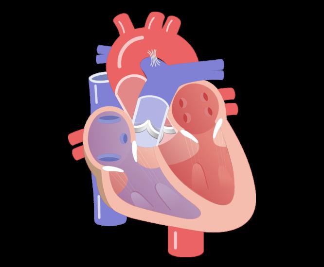 heartbeat clipart heart valve