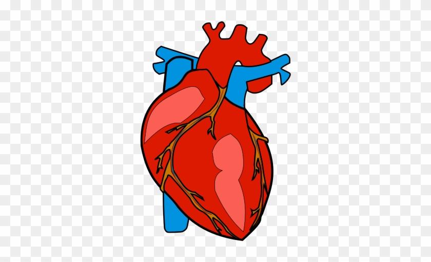 Human heart anatomy organ. Hearts clipart body