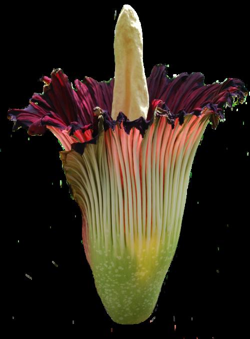 Heat clipart ten flower. Corpse titan arum the