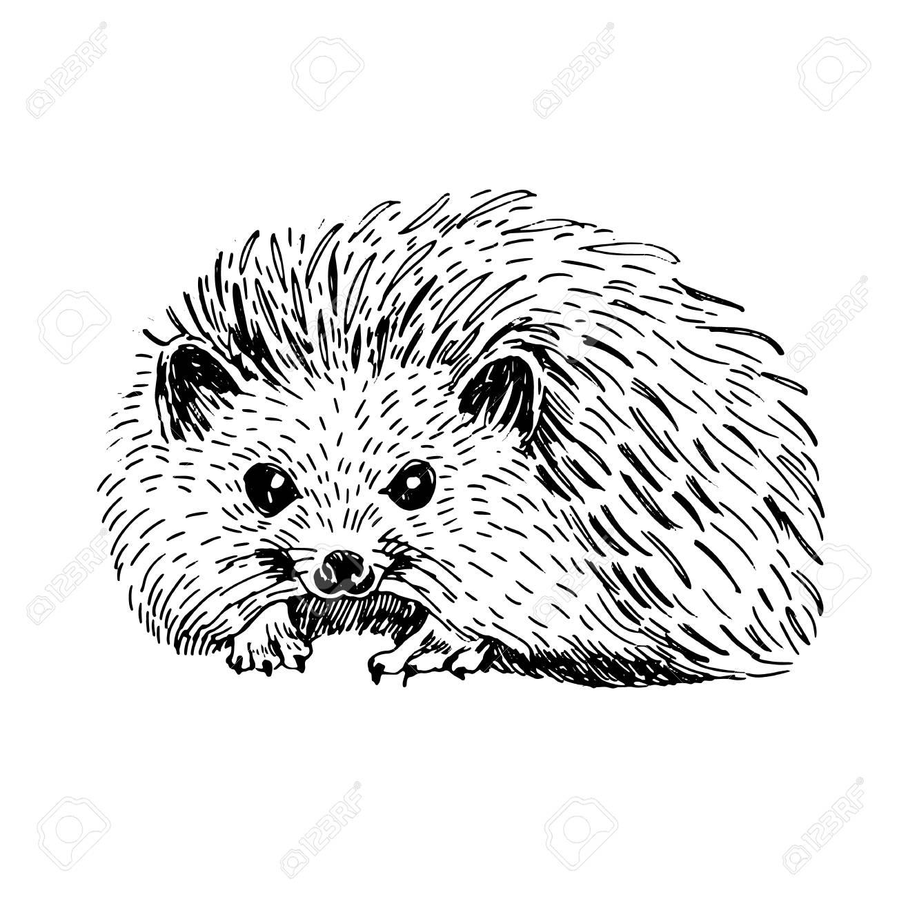 Hedgehog clipart drawn. Sketch line art drawing