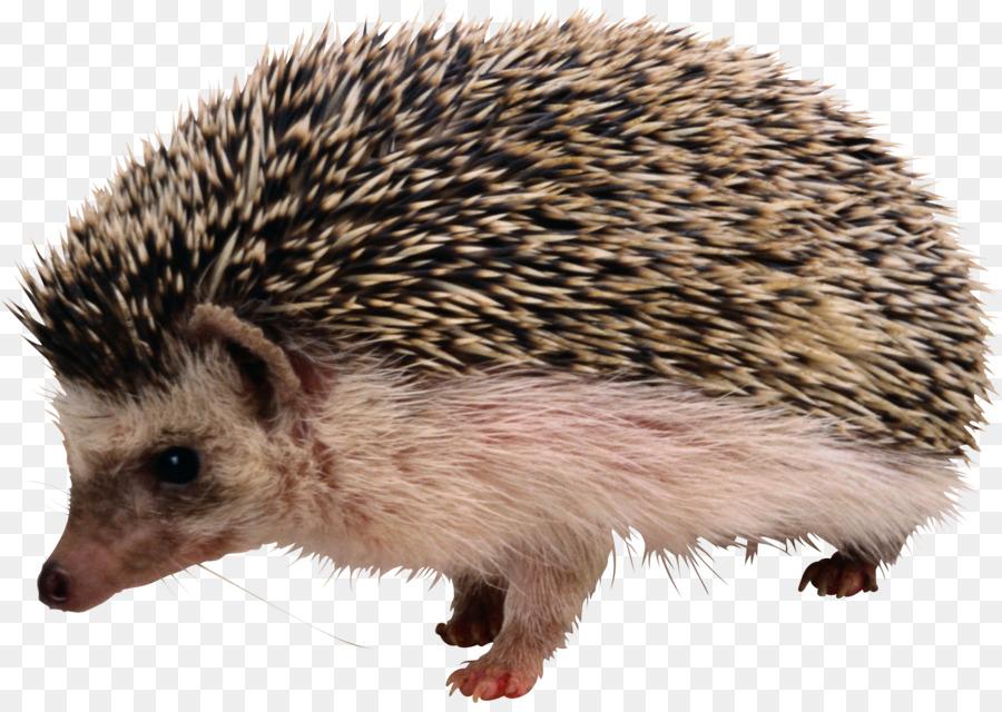 Png clip art . Hedgehog clipart hedgehod