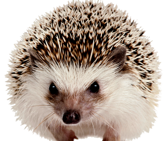 Hedgehog clipart hedgehog face. Png images free download