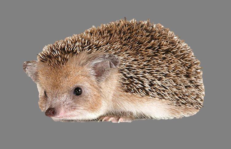Png . Hedgehog clipart transparent background