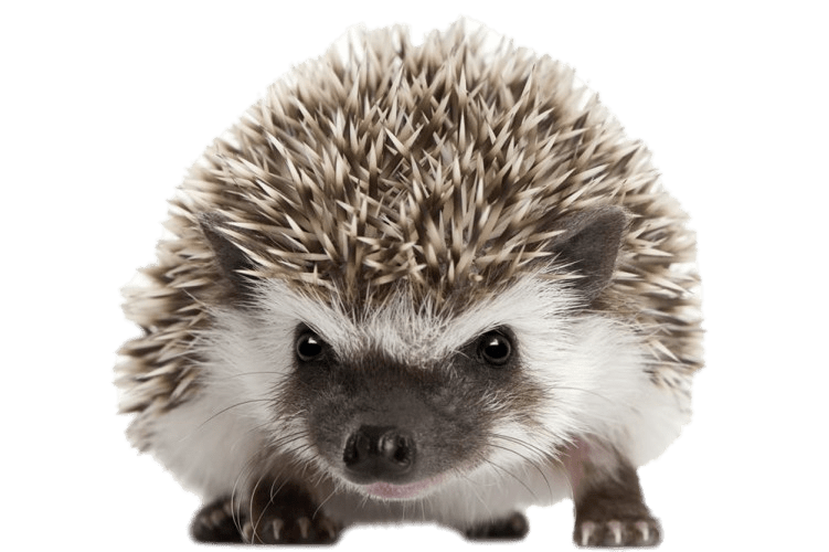 Front view png stickpng. Hedgehog clipart transparent background