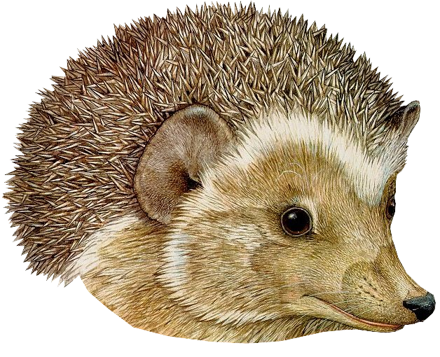Hedgehog clipart urchin. Png