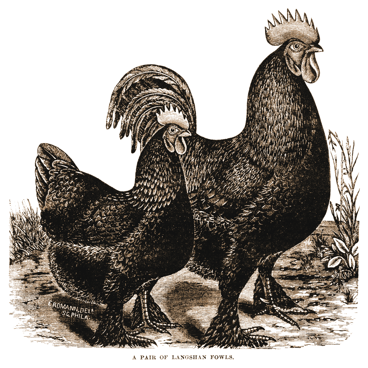 Free printable rooster this. Hen clipart 2 french