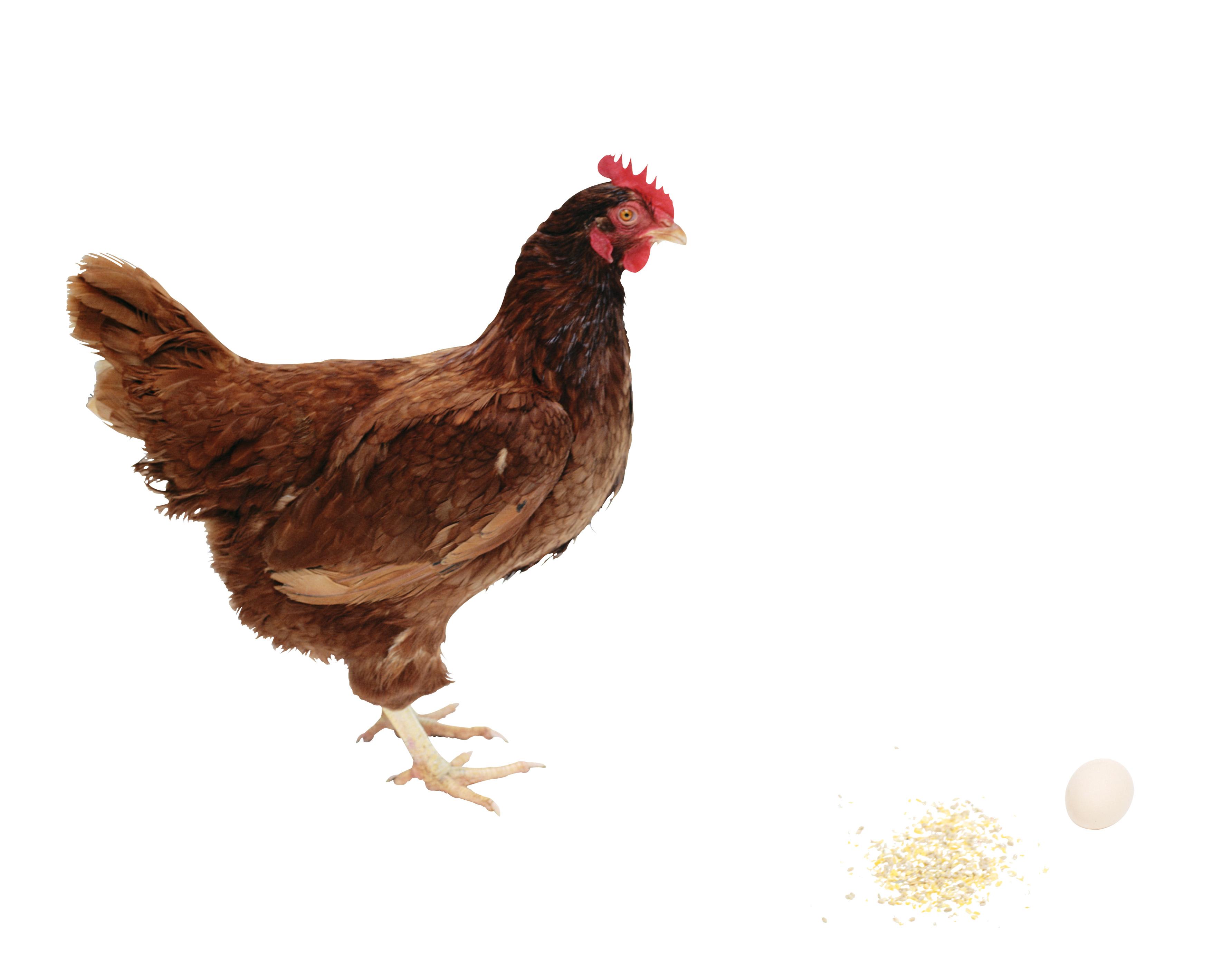 Chicken isolated stock photo. Hen clipart nine