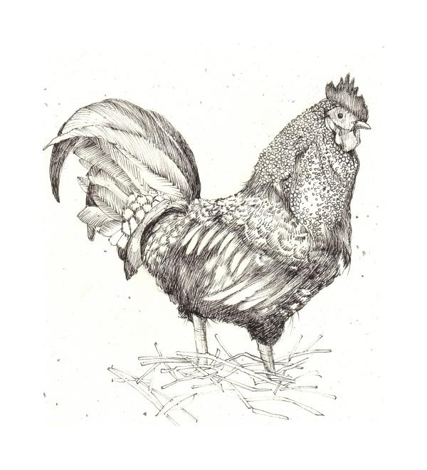Drawing of a cockerel. Hen clipart pencil sketch