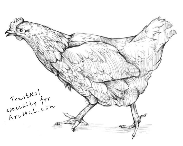 Hen clipart pencil sketch. How to draw a