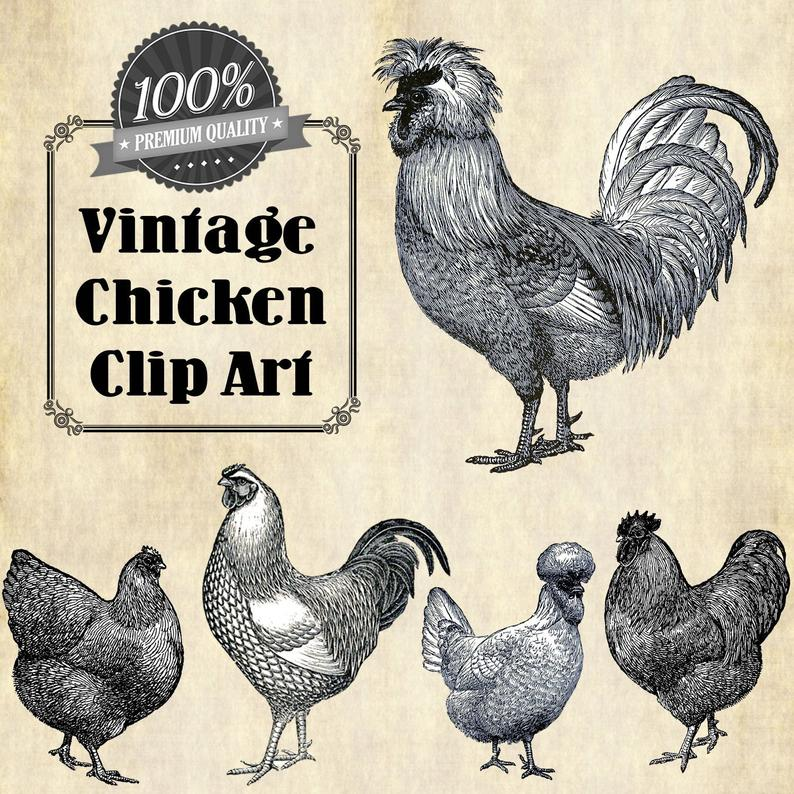 Vintage chicken illustration animal. Hen clipart poultry