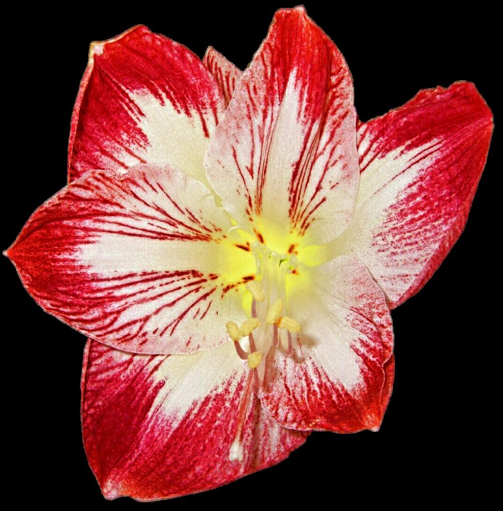 Hibiscus clipart christmas. Amaryllis by jeanicebartzen on