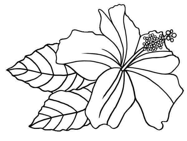 Hibiscus clipart colouring. Flower hawaiin coloring page