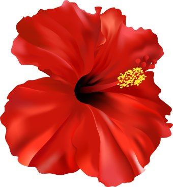 Puerto rico flowers . Hibiscus clipart flower real