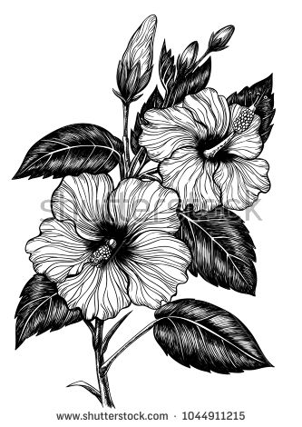 Drawing vector clip art. Hibiscus clipart hand drawn