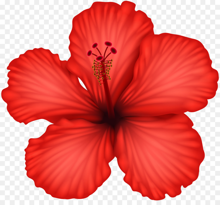 Hibiscus clipart hybiscus. Red flower transparent clip
