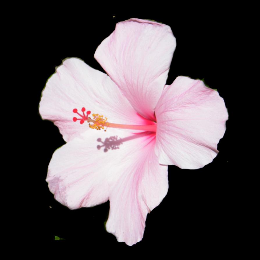 Flower photo loft wallpapers. Hibiscus clipart jaba
