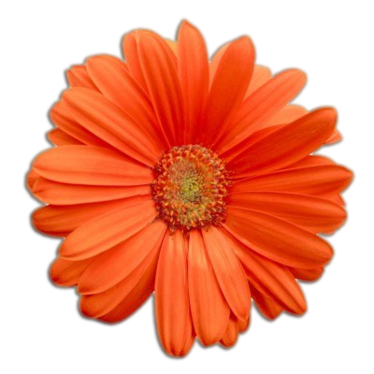 Orange flower png. Qygjxz x px