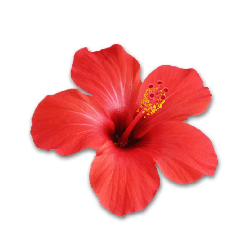 Ingredients health benefits carmien. Hibiscus clipart phool