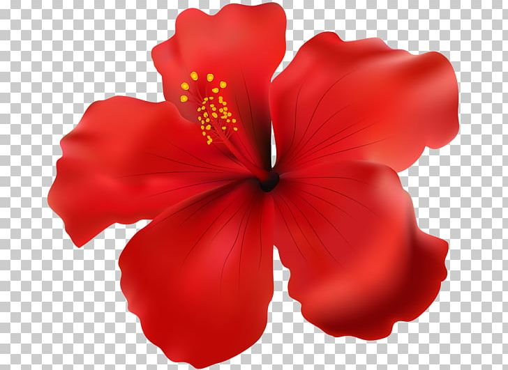 Shoeblackplant png chinese . Hibiscus clipart rose china