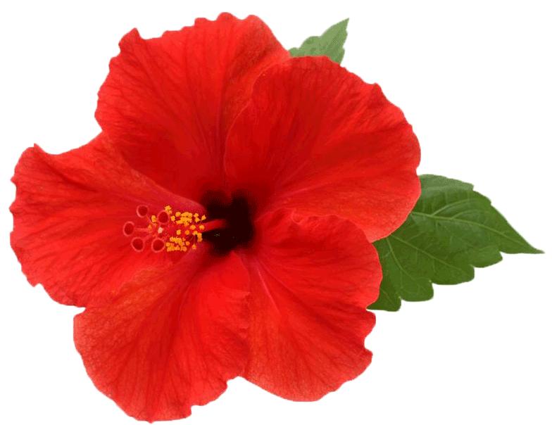 Hibiscus rose china